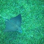 Eagle Ray spotted, while snorkeling off  the beach
