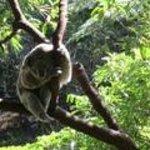 a lovely koala