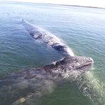 ballenas / gray whales