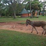 donkey at pearl gardns