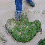 Cast of Iguanadon Footprint