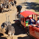 Ostrich can get THAT close to the train