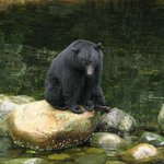 Bear fishing at Thornton Creek Hatchery