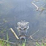 Crocodile in the fenced off lake.
