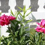 peonies by the picket fence