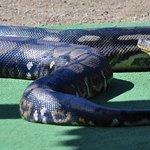 Anaconda Snake