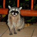 Resident bar racoon