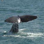 Sperm Whale diving.