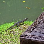 Monitor lizard, free of charge