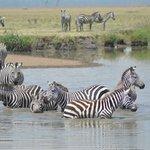 Zebras im Wohlfühlbad