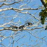 Howler Monkeys outside our cabina