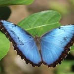 Beautiful Blue Morpho butterfly.