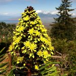 Ali'i Kula Lavender - flowering succulent