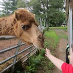 Reese feeding the camel from the golf cart