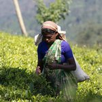 a tea picker