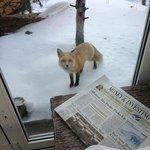 Vail Fox
