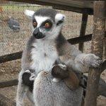 Lemur feeding
