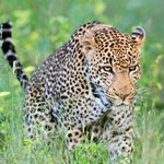 Marthly male leopard