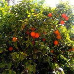 Orange trees in Courtyard