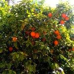 Orange trees in Courtyard