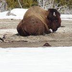 Buffalo taking a spa break