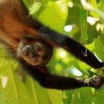 Spider monkey by Alex Thomson