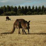 Kangaroo grazing at  Hanson Bay