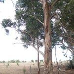 Koala climbing tree at Hanson Bay