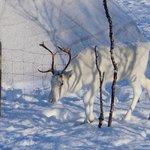 Nearby Reindeer