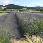 Lavender fields with Mt. Hood in the background.