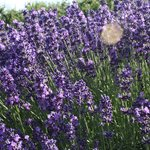 A closer look at the lavender.