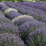 A field showing various types of lavender.