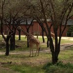 These two giraffes were eating right outside our room (2273).