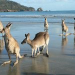 Kangaroos on the beach at Cape Hillsborough Nature Resort