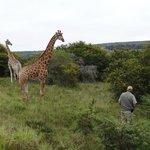 Pirschfahrt Girafe