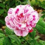 Rose Garden , Queen's Park