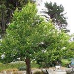 Living Fossil tree  Ginko biloba