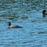 Loons on the Greenstone