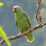 Red-lored Parrot  in tree adjacent to our patio