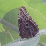 One of the Morpho butterflies