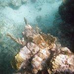 Corales en West Bay