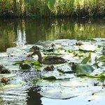 Ramada Santa Barbara ducks in the lagoon