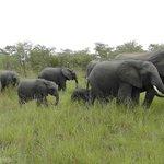 Herd of elephants--amazing