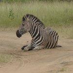 Zebra taking a dust bath