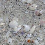shelling on lido key beach