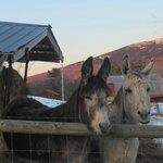 Donkeys in the winger