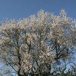 In febbraio il mandorlo era una nuvola di fiori e di profumo.