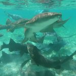 Nurse Shark's and Southern Stingray