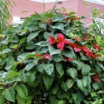 Pointsettia 12 ft tall in garden