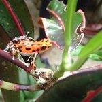 Strawberry poison-dart frog (Dendrobates pumilio)